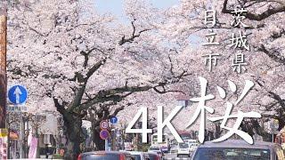 【絶景茨城】桜[4K]茨城県日立市|VISIT IBARAKI, JAPAN
