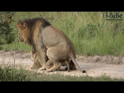 WILDlife: Horny Lion Roadblock? (4K Video)