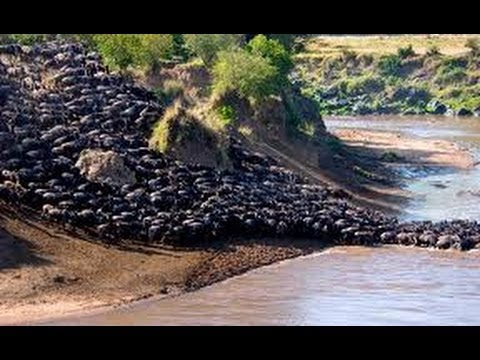 Grandes Migraciones de Ñus en el Serengeti / Great Wildebeest Migrations at Serengeti [IGEO.TV]