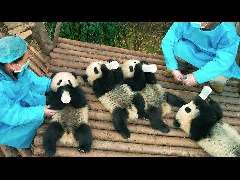 """كريستين بيل تحكي قصة الدب """" شين شين"""" في Pandas"""