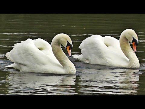 Swans Dancing - Mating Dance or Rotation Display
