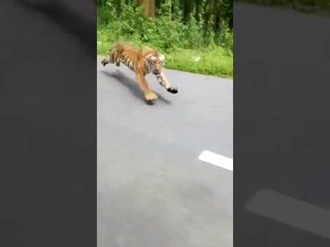 Tygrys kontra goście na motocyklu. Majty musieli mieć pełne
