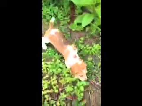 AKC Registered Red and White Purebred Female Beagle Pup
