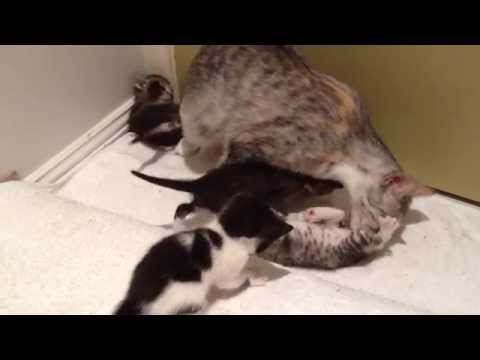 How mother cat stimulates kittens to go to the bathroom