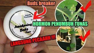 Video Review Hormon Penumbuh / Perangsang Tunas #Bud breaker awakening buds MP3, 3GP, MP4, WEBM, AVI, FLV September 2018