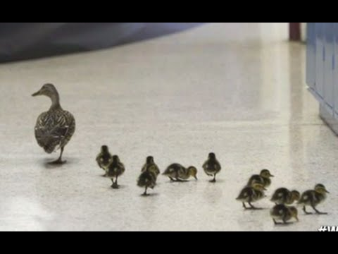 Elementary School Shuts Down For A Mama Duck To Lead Her Ducklings To Safety