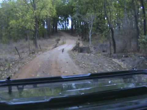 Fox running in front of the Jeep at Kanha