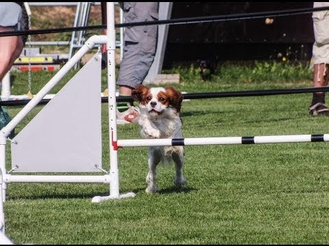 cavalier king: agility dog!