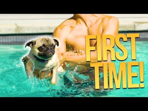 PUGS FIRST TIME SWIMMING!