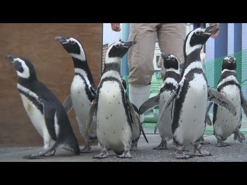 ペンギンのお散歩ライブ