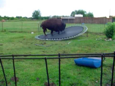 buffalo jumps on trampilene00370