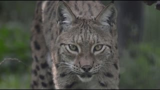 Great, new video - 10 years of the Balkan Lynx Recovery Programme