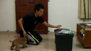 Dog Training 4個月貴婦狗 Poodle 花式訓練