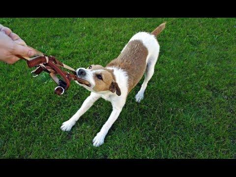 adiestramiento canino o de perros, como adiestrar un perro