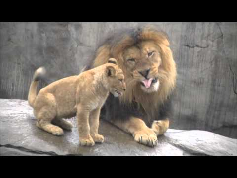 Lion Cubs Meet Their Dad for the First Time, Instantly Piss Him Off