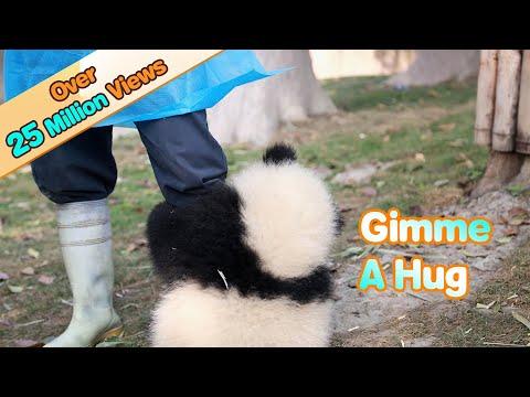Tämä pieni panda ei jätä hoitajaansa rauhaan