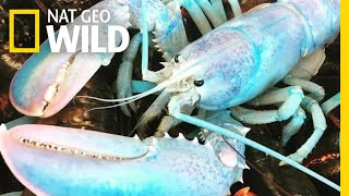 Ultra-Rare Lobster Looks Like Blue Cotton Candy | Nat Geo Wild by Nat Geo WILD