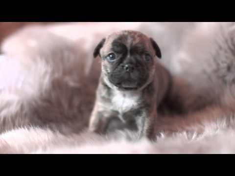 Pug puppy, Cute Playful Puppies only 4 weeks old