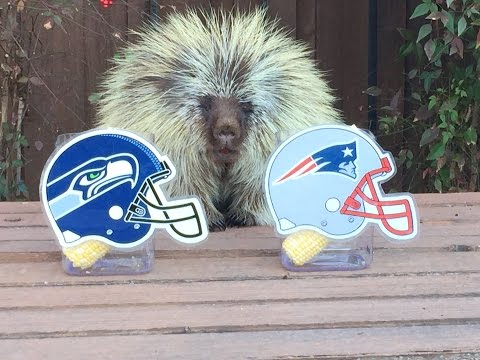 bowl - Can Teddy Bear the Porcupine accurately predict the winner of the Super Bowl for the FOURTH year in a row? Don't ever underestimate the power of po'pine prognostication! See who he picks to...