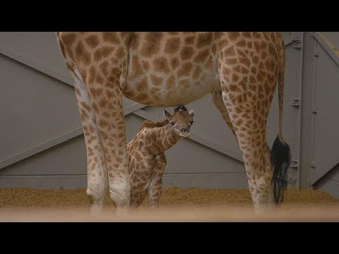 Mechelen/Belgien: Giraffengeburt im Zoo Mechelen