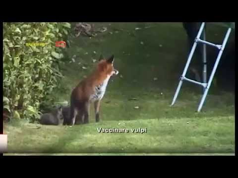 Vaccinare vulpi