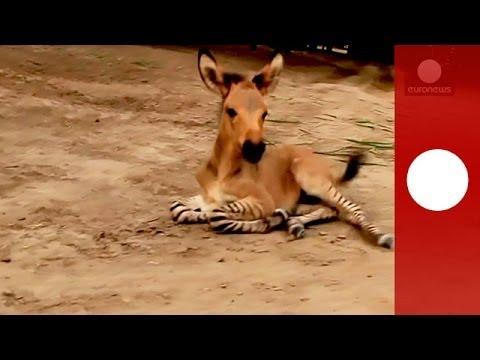 Nace la primera ''zonkey'', una mezcla entre zebra y burro