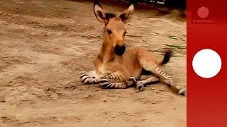 Rare 'Zonkey', Zebra-Donkey Baby
