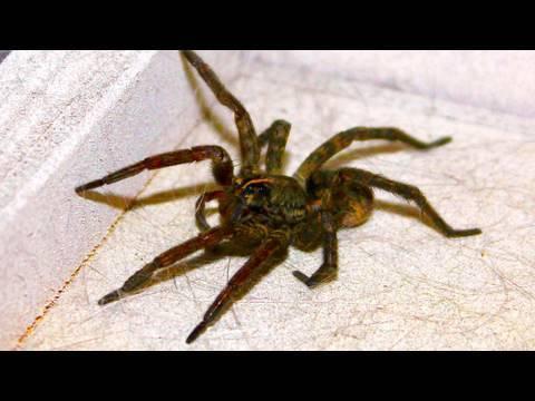 Giant Kitchen Spider