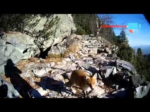 Liška v Tatrách