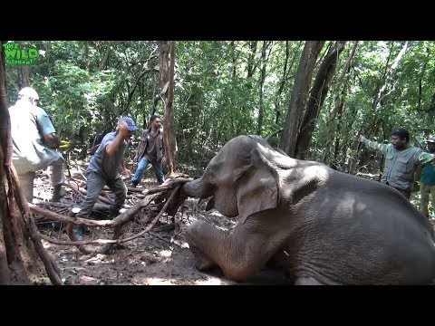 Elephant Trapped With A Wire Is Helpless. Wildlife Team To The Rescue