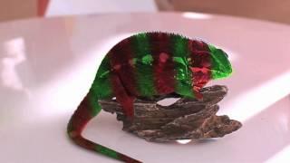 Crazy Chameleon Colour Change