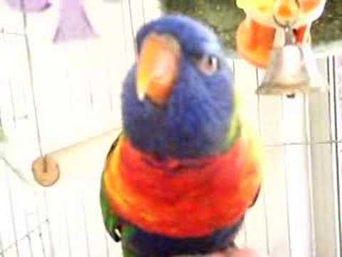 Tootsie Talks Rainbow Lorikeet