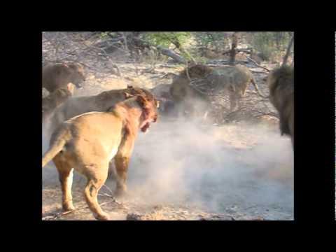 Incredible Lion battle