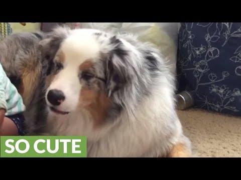 pastore australiano - carattere vivace ma paziente con i bambini