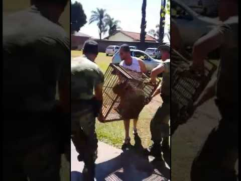 Polícia ambiental captura capivara no colégio Emílio de Menezes em Japurá