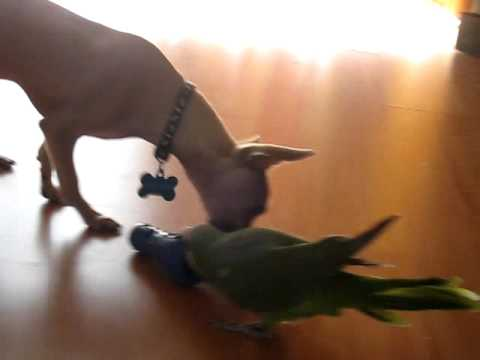 Chihuahua and Parrot fighting over a dog treat ( Funny Birds Videos )