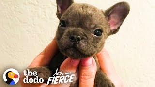 Watch This Sassy Cleft Palate Puppy Argue With His Mom | The Dodo Little But Fierce by The Dodo