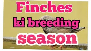 FINCHES ki breeding season