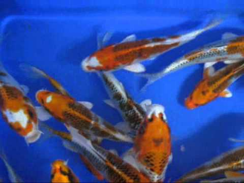 Madankoi High quality koi
