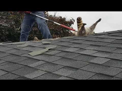 Raccoon Gets Stuck in Roof