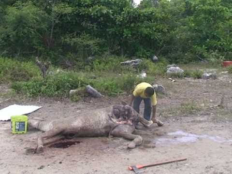 KILLING a Horse for tiger food at pepes cancun sanctuary