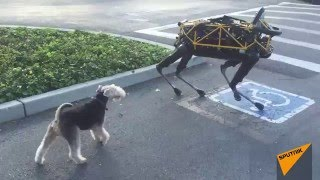 Video Real Dog Meets Boston Dynamics Robot Dog for First Time MP3, 3GP, MP4, WEBM, AVI, FLV Mei 2018