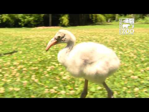 Flamingo Chick Getting Some Exercise Cincinnati
