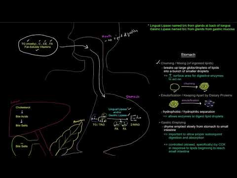 Lipid Digestion and Absorption (Part 1 of 3) - Digestion [free sample]