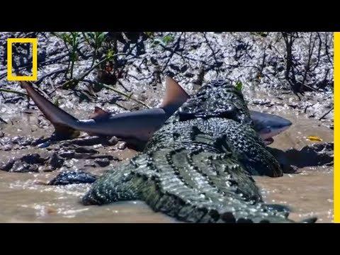 Un crocodile se bat contre un requin-bouledogue