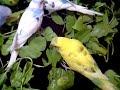 TheBudgieBirds - Quick random video *Budgie Birds*