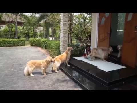這4隻乖乖排隊的黃金獵犬絕對是世界上最聽話的毛小孩,牠們等著做的事讓大家都想把讚按壞掉啊!