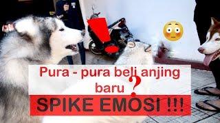 Video PRANK bell anjing BARU si SPIKE MARAH  - VLOG MP3, 3GP, MP4, WEBM, AVI, FLV Juni 2019