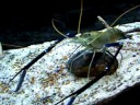 Giant Freshwater Prawn At The National Zoo In Washington
