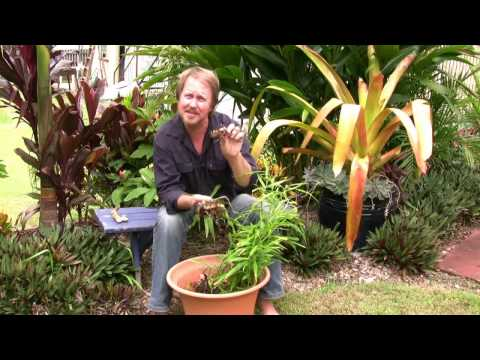 Vegetable Gardening: Growing Edible Ginger – How to grow ginger